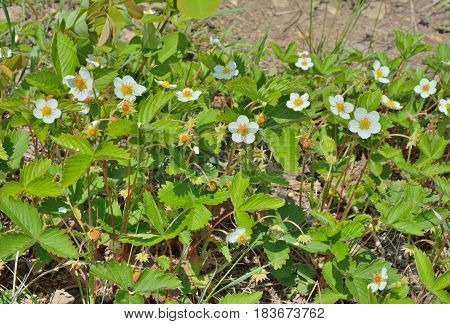 A close up of the blooming wild strawberry.