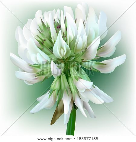 White Clover - Trifolium. Hand drawn vector illustration of a white clover flower in realistic style, on white background.