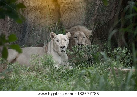 The white lion in South Africa and is a rare color mutation of the Kruger subspecies of lion (Panthera leo krugeri).