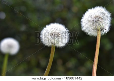 The trio has not yet blown away by the wind of dandelions