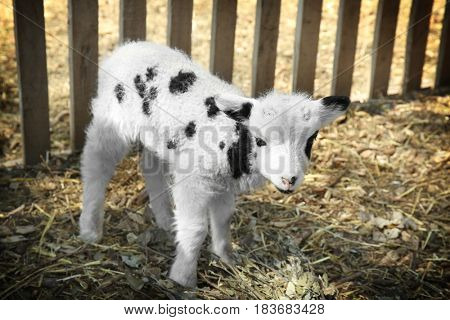 Cute funny lamb in zoological garden