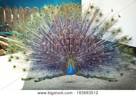 Beautiful peacock in zoological garden