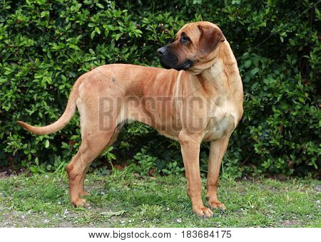 Side view closeup of a japanese bandog tosa inu in the green
