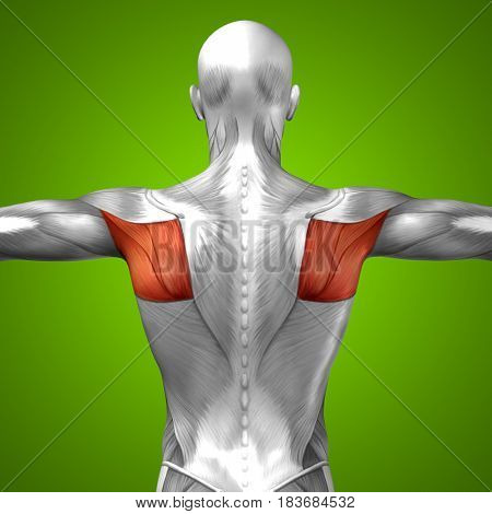 Concept or conceptual 3D illustration back human anatomy or anatomical and muscle on green background