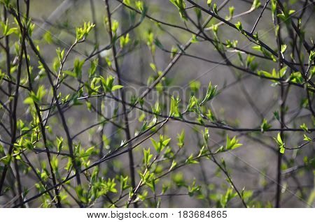 Leaves sprouting out of their buds in spring.