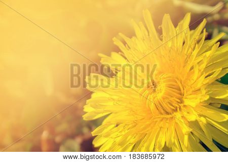 Beautiful Yellow Dandelions Flowers Close Up. Dandelions Background. Spring.