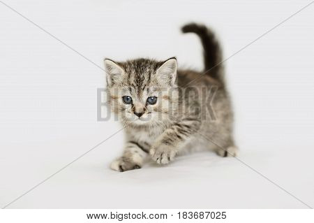 Charming grey kitten of tender age. Striped baby cat isolated on white.