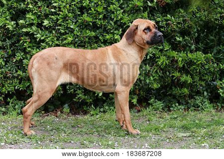 Tosa inu bandog against green natural background