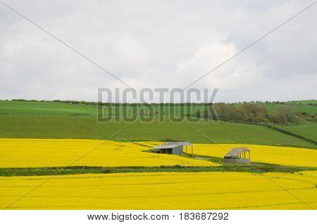 Small farm buildings in yellow rape seed field UK