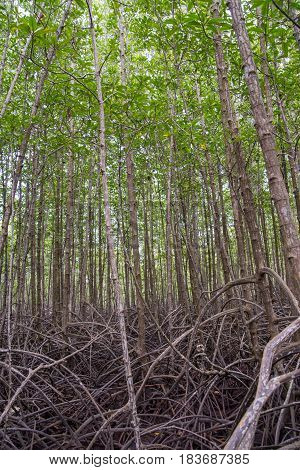 Forest of tall loop-root mangrove trees with tangled and messy roots. Wide angle vertical photograph. Rayong Thailand. Travel and nature concept.