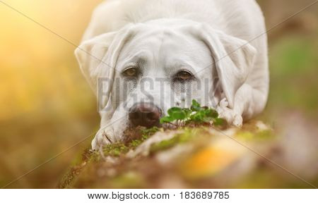 young cute labrador retriever dog puppy with big brown eyes in forest with his head on paws