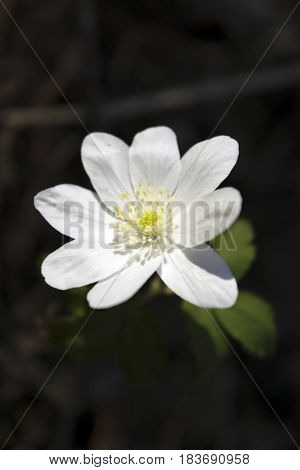 Lonely white wood anemone flower in Siberian taiga forest in spring. Flower in center vertical orientation.
