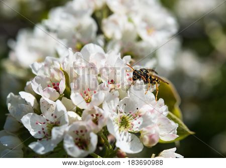 Wasp on branch of a blossoming spring tree in a botanical garden. Macro flowers and insects photography, natural floral background.