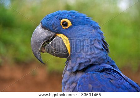 Hyacinth macaw (Anodorhynchus hyacinthinus) or hyacinthine macaw with a stone in its beak.