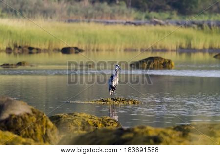 Great Blue Heron poised on seaweed-covered rock at low tide