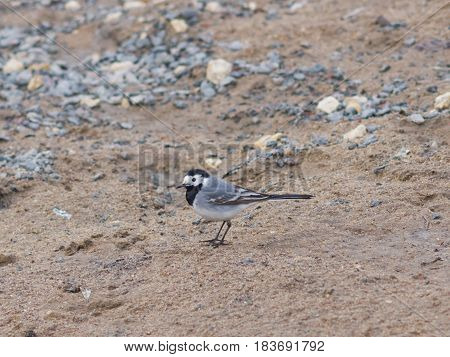 White wagtail Motacilla alba close-up portrait on sand selective focus shallow DOF.