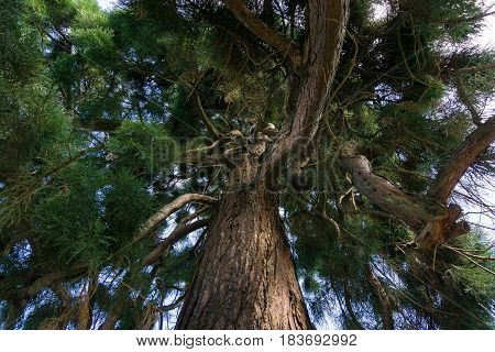 Hugh Branches of a Tree. Close-up of a Big Tree in Spring. Mammoth Trees