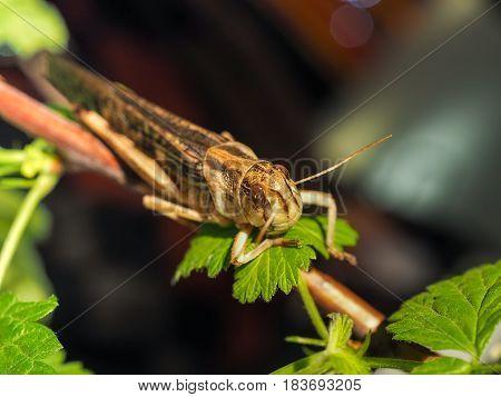 Beige Black Locust, On A Green Leaf, Photographed Close