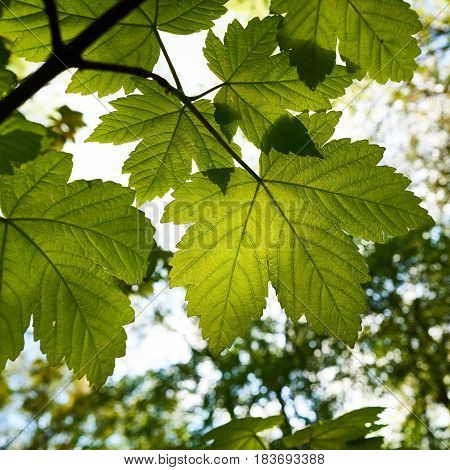 Leaves of a maple tree in spring in a Forest