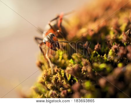 Orange Ant On Green Moss While Explorer Small World.