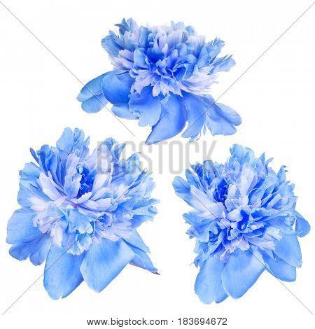 set of blue peony flowers isolated on white background
