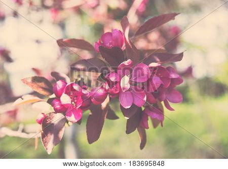 A branch of a blossoming spring wild apple tree in botanical garden. Macro flowers photography, natural floral background.