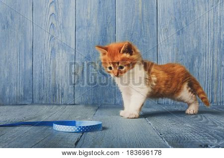 Cute ginger kitten plays with ribbon at blue wood background with copy space. Long haired red orange small cat with white chest.