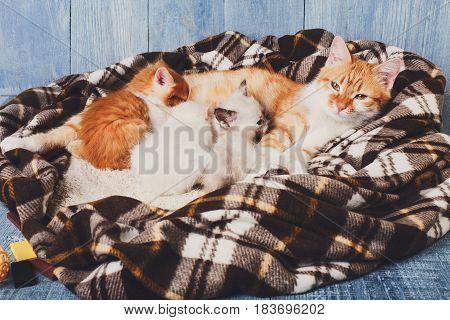 Ginger cat breastfeeding her little kittens. Motherhood, parenting, care. Nursing at plaid blanket and blue rustic wood background.