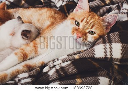 Ginger cat closeup breastfeeding her little kittens. Motherhood, parenting, care. Nursing at plaid blanket and blue rustic wood background.