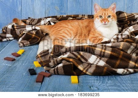 Ginger cat sitting on plaid blanket at blue wooden background. Red orange cat with white chest portrait.
