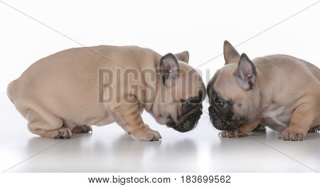 litter of french bulldog puppies in a pink dog bed on white background