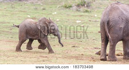 Young baby African elephant running fast to rejoin the herd
