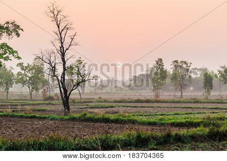 tree in field dry season in thailand sunset time