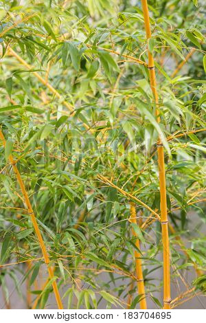 Bamboo tree close up view natural background