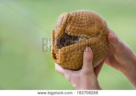 Hands holding a three-banded armadillo (Tolypeutes matacus) rolled up into a defensive ball. Green background with copy space.