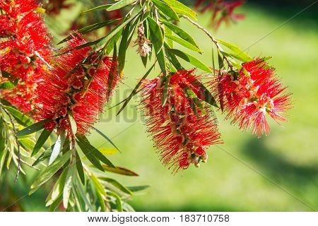 Callistemon viminalis G. Don ex Loud.; Myrtaceae Bottlebrush red flower macro against a blurry green field