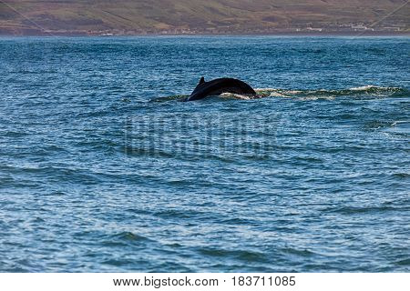 Whale comming up for breath in Husavik Iceland
