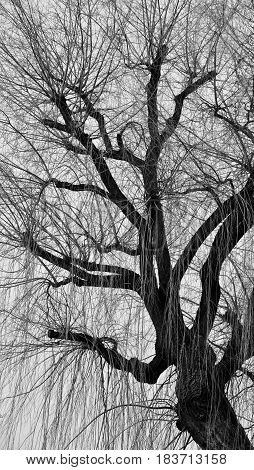 Winter tree leafless weeping willow black and white