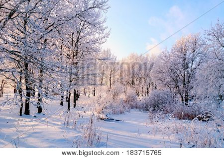 Winter landscape of frosty trees in winter forest in the winter morning. Winter landscape with snowy winter trees. Calm winter nature in sunlight -winter landscape of nature covered with winter frost