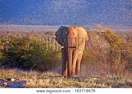 picture of an African elephant in private Madikwe game reserve, South Africa.