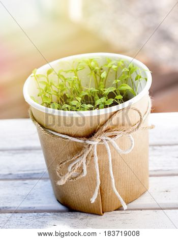 Parsley seedlings in a pot on a table in an urban garden.