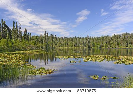 Sun and Lily Pads in the Wilds of the Kenai Wildlife Refuge in Alaska