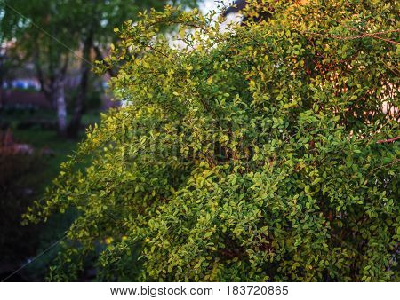 Bush barberry at sunset. Green bush. Green leaves on the plant.