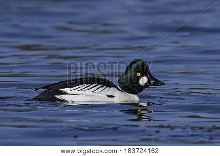 Common goldeneye swimming in its natural habitat