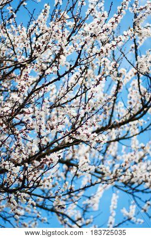 Spring Apricots Blossom