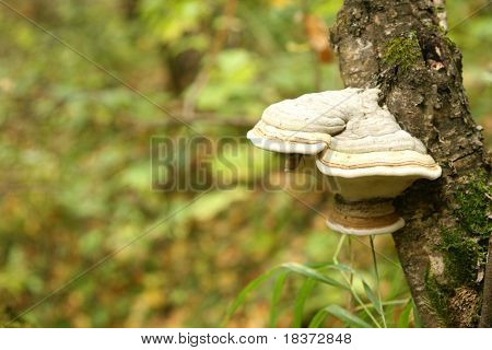 polypore on birch