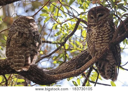 A Breeding Pair of Mexican Spotted Owls in Their Roost