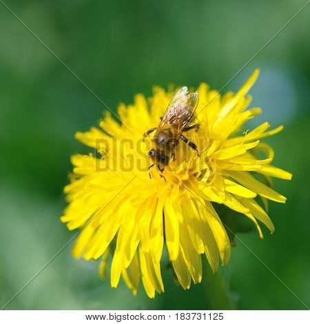 Honey bee collecting nectar on a yellow dandelion