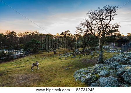 Romantic swedish sunset scenery landscape with reindeers