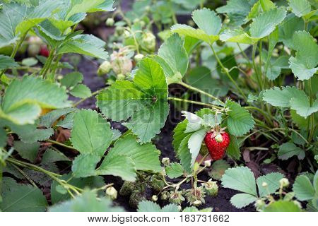 Ripe Strawberries On A Strawberry Plantation In A Garden Outdoors.